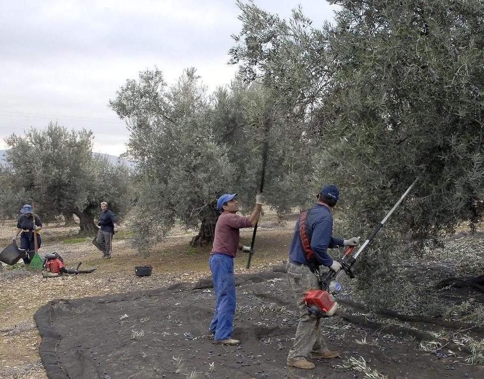 Olivareros en la recolección de la aceituna en Jaén