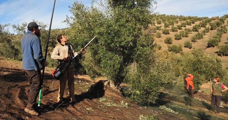 Agricultores en el campo vareando un olivo.