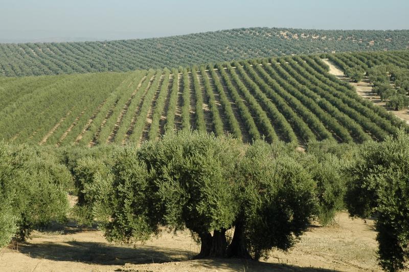 Olivar tradicional de Jaén.