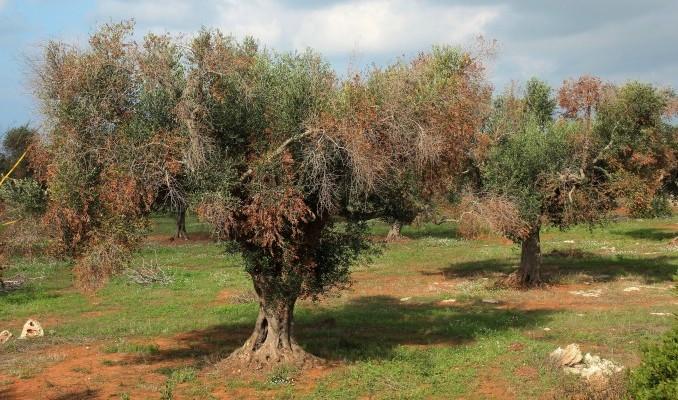 La Xylella fastidiosa seca el olivo y solo queda arrancarlo.