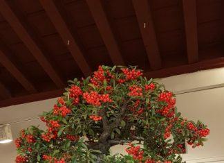 Uno de los bonsáis que participan en esta muestra.