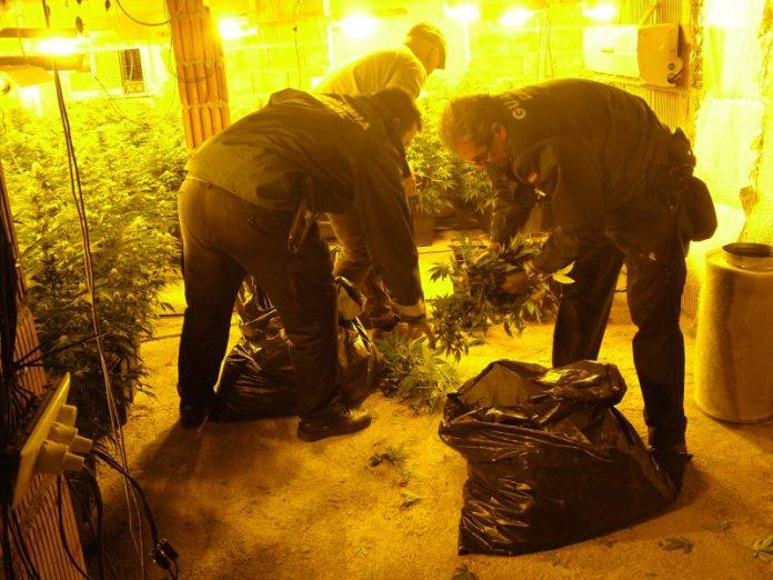 La Guardia Civil requisa las plantas de marihuana.