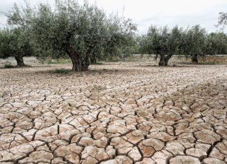 Olivar seco por la falta de lluvia.