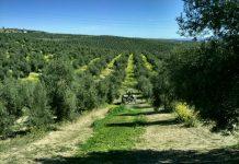 Campo de olivos en la provincia de Jaén