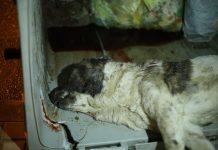 Los voluntarios sacaron del fondo de un cubo al animal .