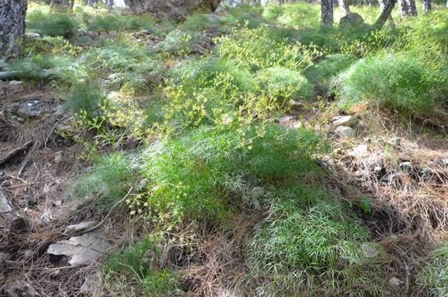 El martes día 20 se plantará en el Jardín de Flora Autóctona de la UJA la nueva especie 'Rivasmartinezia Cazorlana'