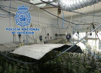 Plantación de marihuana descubierta en una finca de la sierra de Andújar.