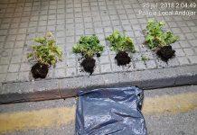 Plantas que la mujer había empezado a arrancar de un jardín municipal. FOTO: Policía Local de Andújar