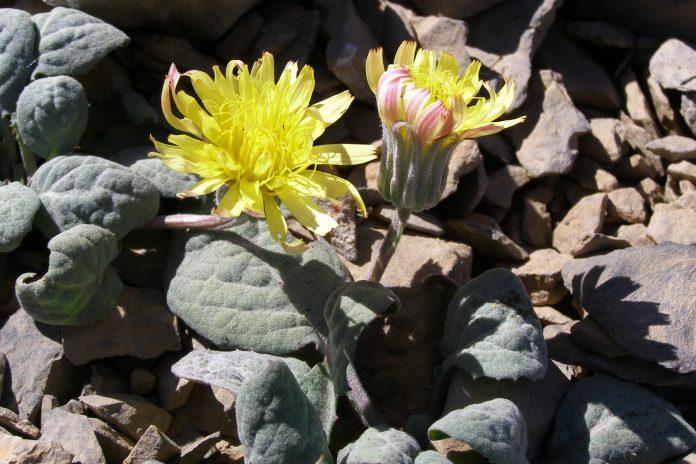 Crepis una de las plantas que florecen en el mes de julio en Sierra Mágina.