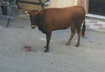 Vaquilla de Begíjar con el pitón roto
