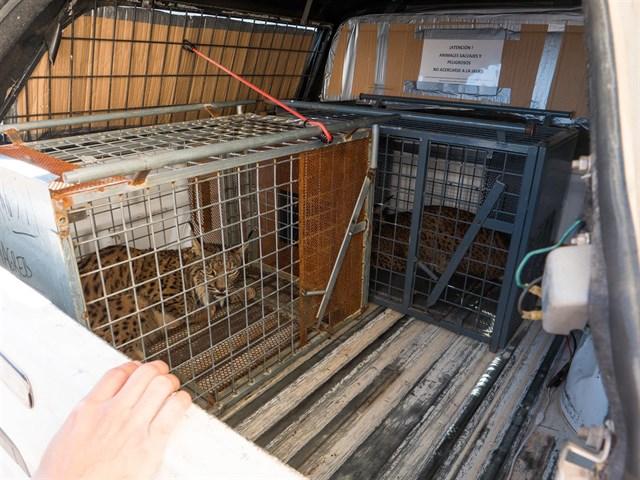 Linces siendo evacuados de Portugal hacia Jaén. FOTO: Ministerio de Transición Ecológica