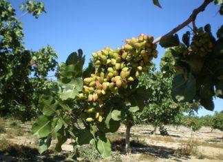 Cultivo de pistacho.