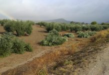 Tala indiscriminada de olivos.