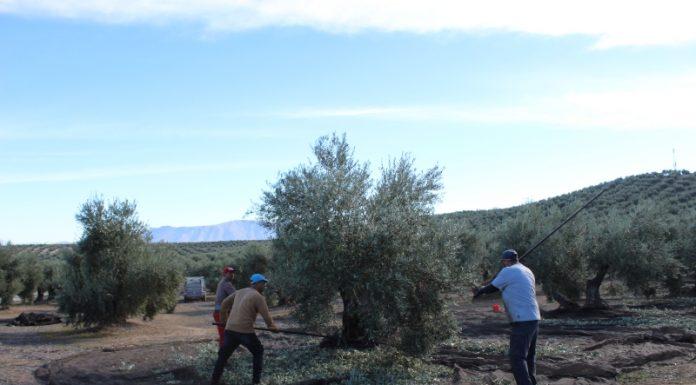 Trabajadores de la aceituna en una explotación de Sierra Mágina.
