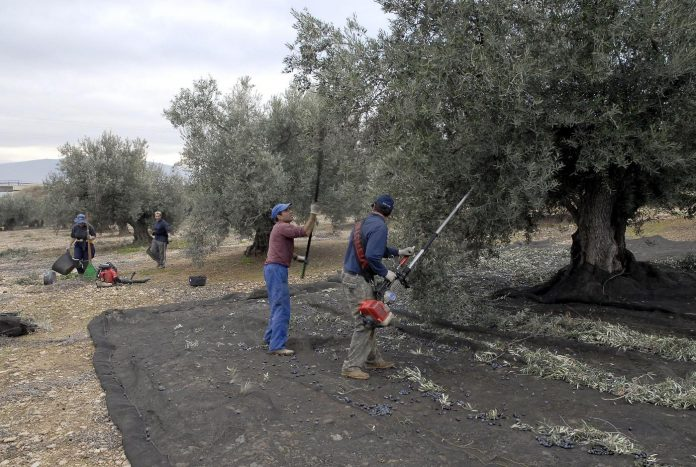 Olivareros en la provincia de Jaén.