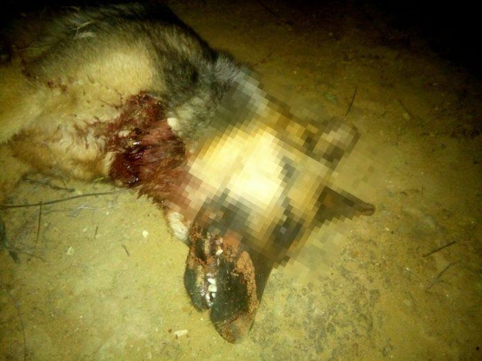 Imagen de cómo se encontraron al animal. FOTO: Asociación Patitas Cortas La Higuera-Arjonilla