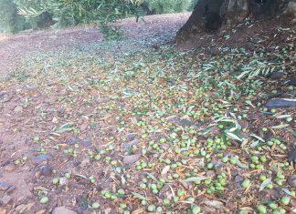 La aceituna en el suelo tras la granizada en Montizón.