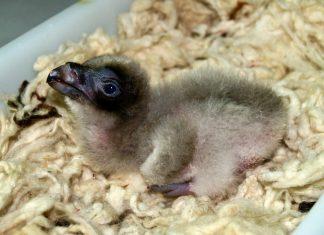Marieke, el último quebrantahuesos nacido en el centro de cría del Guadalentín.