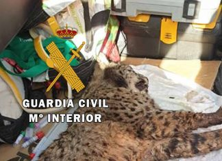 Imagen del lince rescatado. FOTO. Guardia Civil