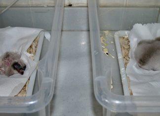 Dos de los pollos de quebrantahuesos nacidos esta temporada en el centro de cría de Jaén.