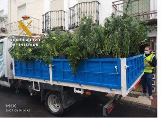 Plantas de marihuana incautadas por la Guardia Civil en Campillo de Arenas.