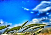 oliva-aceituna-aceitedeoliva-horajaen